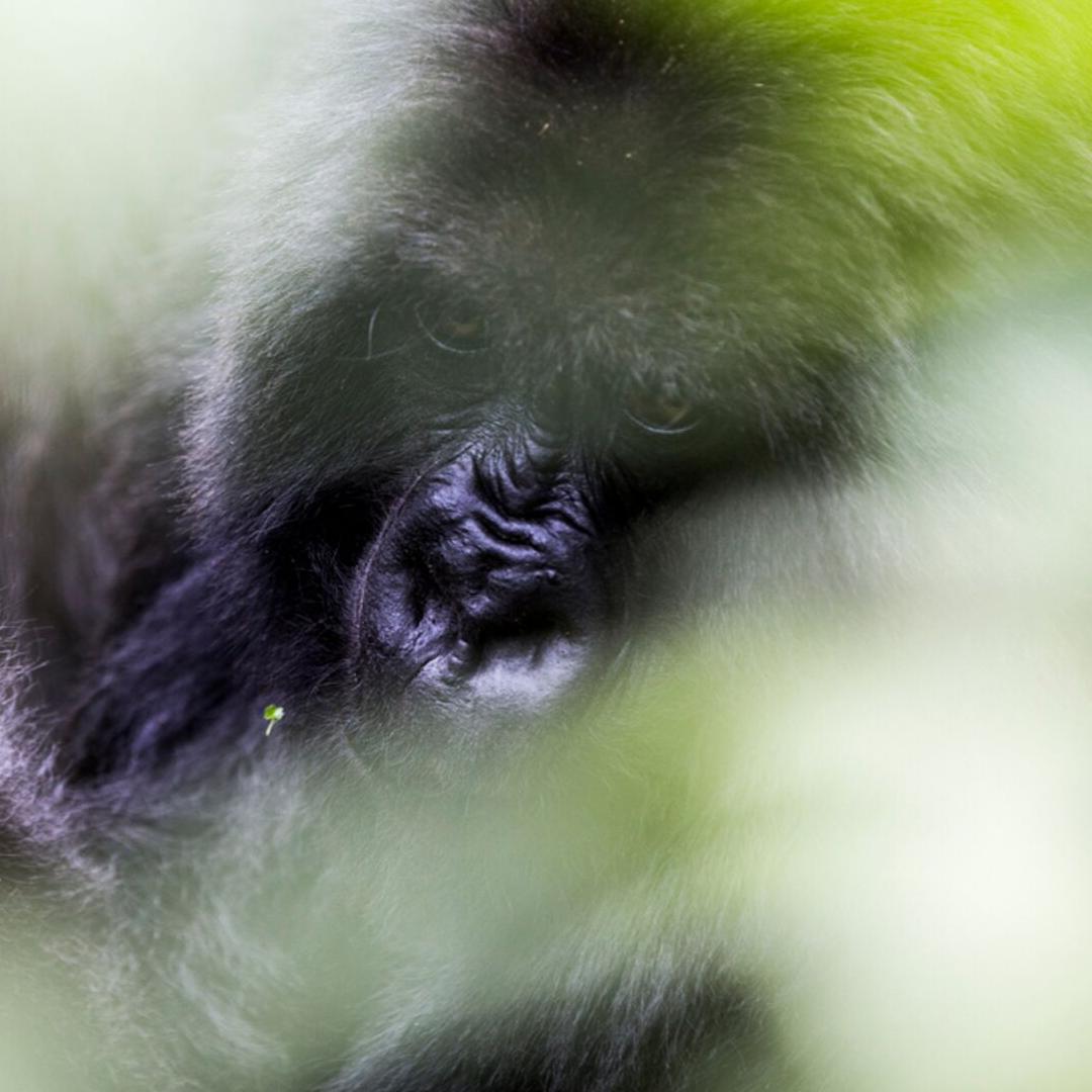 Gorillia Tracking (2)